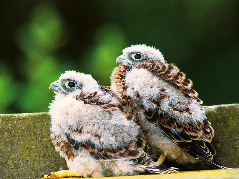Turmfalken-Nestlinge