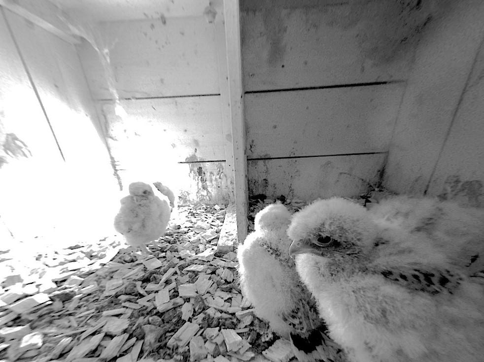 3.6.2021 Vor zwei Tagen wurden die fünf Nestlinge erfolgreich beringt. Zu diesem Zeitpunkt wird die Energie vor allem in das Federwachstum investiert und man sieht schon gut die ersten Schwung- und Steuerfedern, die das Dunenkleid nach und nach ablösen werden.