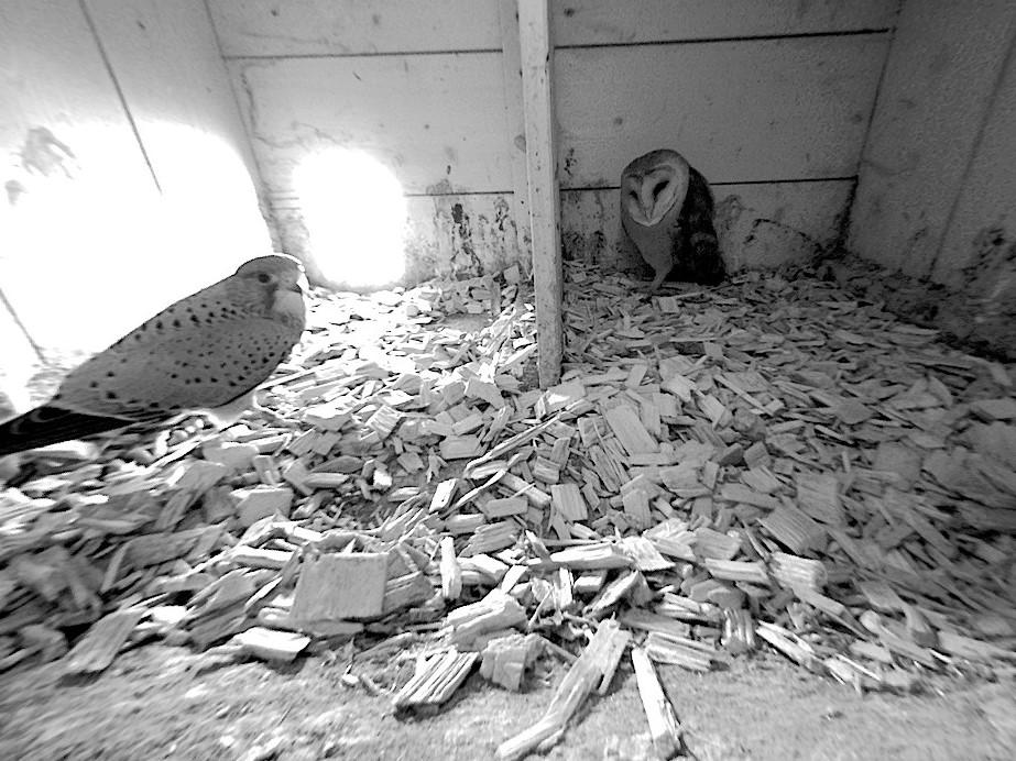 5.2.2021 Die Schleiereule hat den Nistkasten als Tageseinstand ausgewählt und wurde während des Schlafs von einem Turmfalken-Männchen überrascht. Nachdem sich die Schleiereule gross machte, suchte der Turmfalke schnell das Weite.