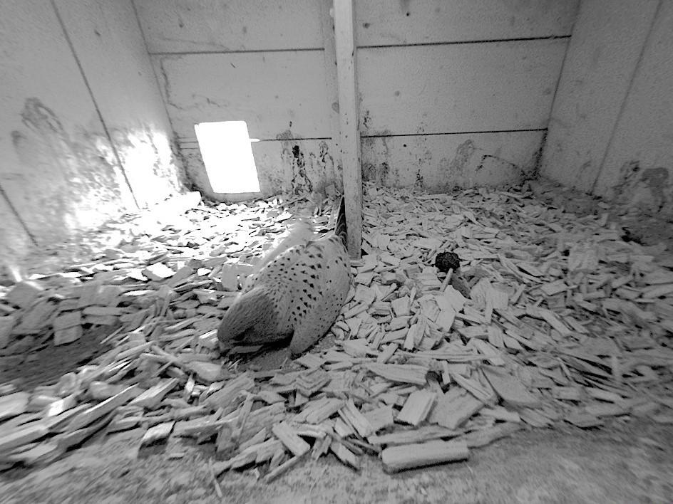 16.2.2021 Das Turmfalken-Männchen gräbt eine Nestmulde für das Weibchen. Dieses Verhalten gehört zur Balz bei den Turmfalken.