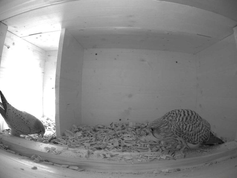 24.3.2021 Erstmals in diesem Jahr zeigt sich ein Turmfalkenpaar gemeinsam im Nistkasten. Links das Männchen und rechts das Weibchen.