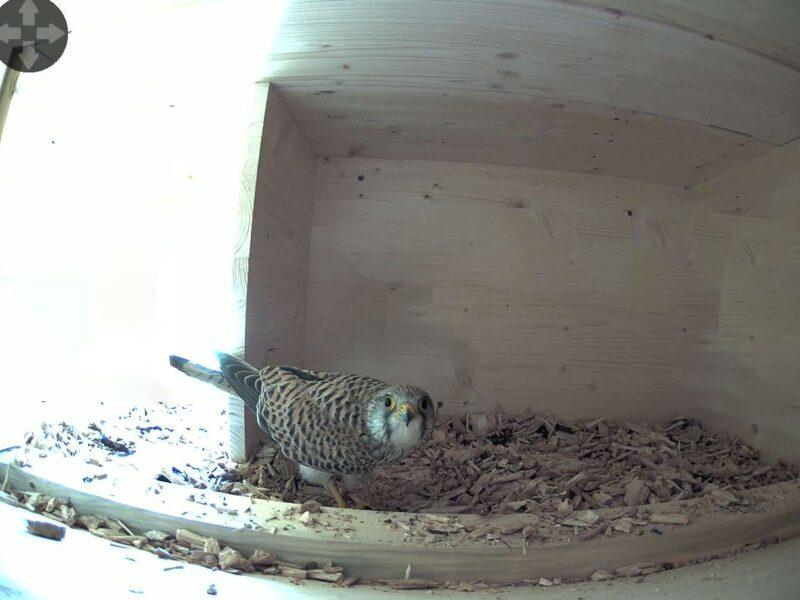 30.3.2021 Das Turmfalken-Weibchen präsentiert sich in voller Pracht und mit direktem Blick in die neue Webkamera.