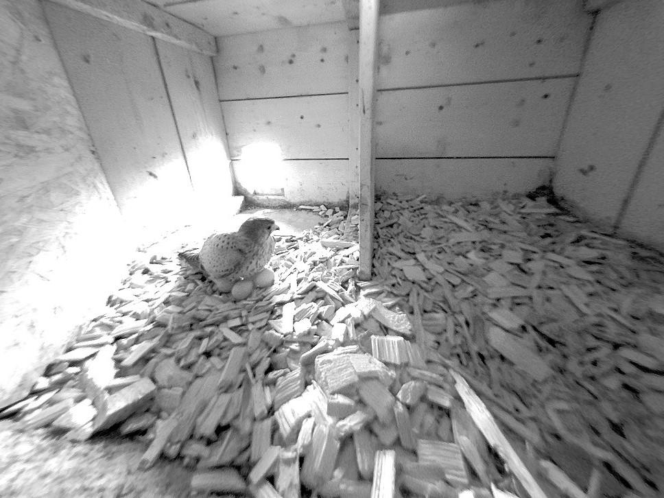 12.4.2021 Grundsätzlich ist das Weibchen für die Bebrütung des Geleges verantwortlich. Dabei wird es vom Turmfalken-Männchen mit Nahrung versorgt. In dieser kurzen Zeit, während das Weibchen die Nahrung ausserhalb des Nistkastens zu sich nimmt, wärmt das Männchen die Eier.