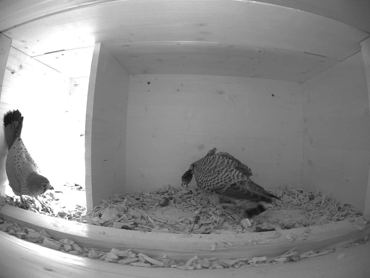 """12.4.2021 Das Turmfalken-Männchen (links) hat gerade dem Weibchen (rechts) mit einer Maus ein """"Brautgeschenk"""" überreicht."""