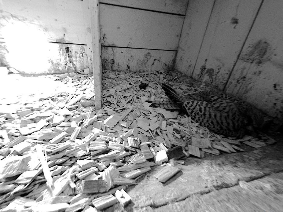 12.4.2021 So sieht es aus, wenn das Gelege vom Turmfalken-Weibchen bebrütet wird. Aktuell umfasst das Gelege 4. Eier.