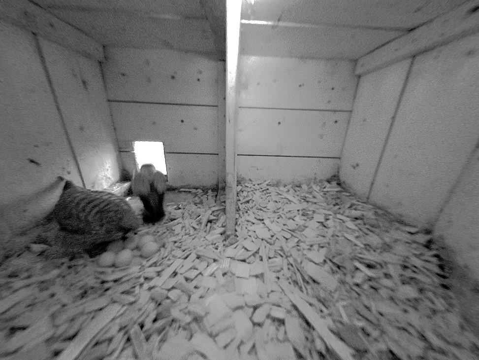 15.4.2021 Das Gelege im südlichen Nistkasten der Familie Baumgartner ist komplett. Das Turmfalken-Weibchen hat insgesamt sechs Eier gelegt und wird diese nun bebrüten bis die Nestlinge schlüpfen.