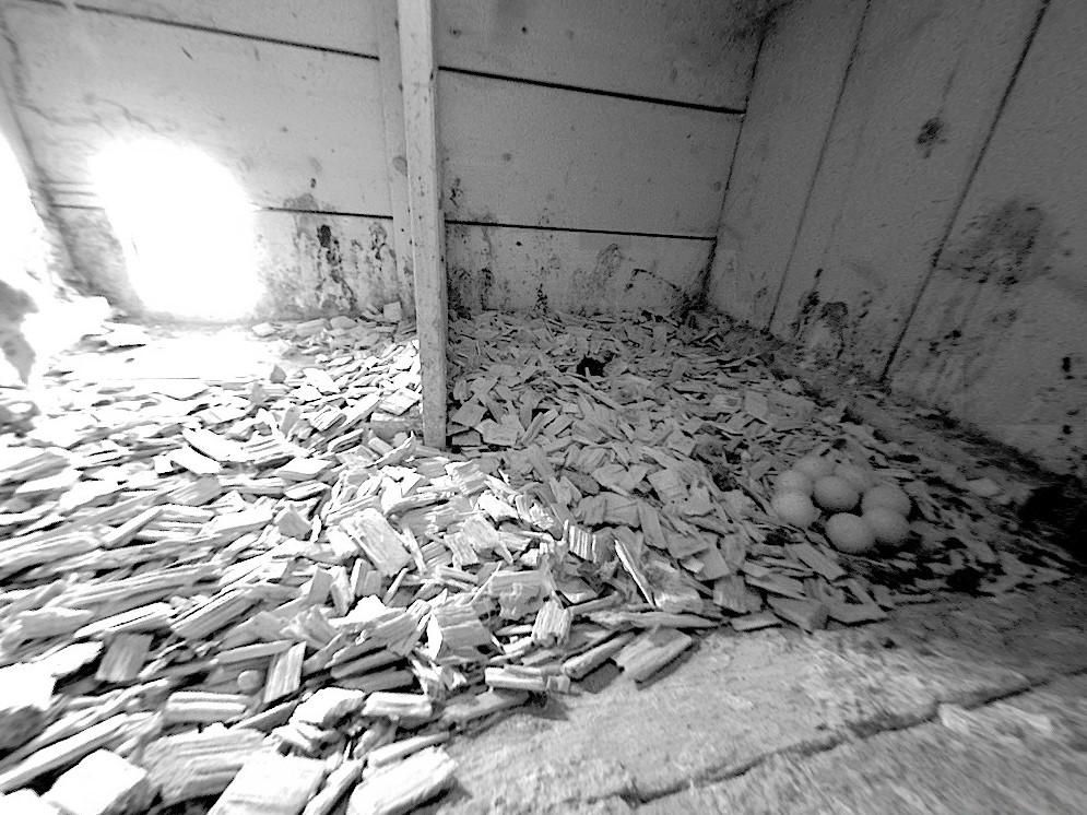 19.4.2021 Das Gelege ist mit 8 Eiern komplett. Dies ist eine aussergewöhnlich hohe Anzahl Eier für eine Turmfalkenbrut. Im Normalfall liegt die Gelegegrösse im St. Galler Rheintal bei 4-5 Eiern.