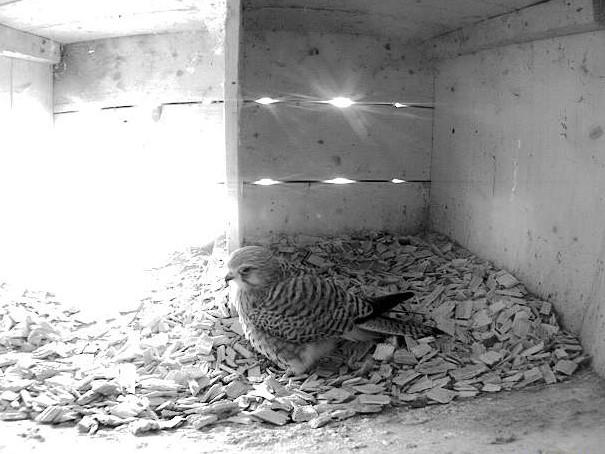 19.4.2021 Der Verdacht hat sich bestätigt. Ein Turmfalken-Weibchen zeigt sich wunderschön vor der Webkamera der Familie Steiger in Altstätten.