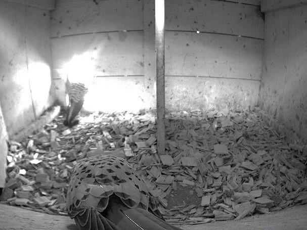 20.4.2021 Ein Turmfalken-Paar zeigt sich sehr aktiv vor der Webkamera im nördlichen Nistkasten der Familie Fritsche. Ob es auch dieses Jahr zu einer Brut kommt?