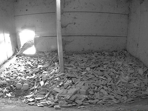 26.4.2021 Auf dem Tratthof der Familie Kuster werden auch dieses Jahr junge Turmfalken-Nestlinge das Licht der Welt erblicken. Die Eiablage hat begonnen und es liegen bereits zwei Eier im Nest.