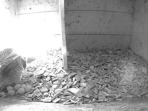 3.5.2021 Mit sechs Eiern ist das Gelege des Tratthofs komplett. Auf dem Bild wird das Weibchen vom Männchen gerade mit einer Maus versorgt. Zur Nahrungsaufnahme verlässt das Weibchen jeweils kurz den Nistkasten. In dieser Zeit bebrütet das Männchen das Gelege.