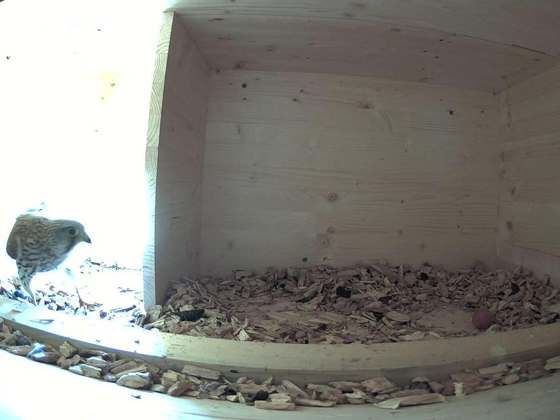 9.5.2021 Eines der beiden Turmfalkenpaare hat erfolgreich eine Brut begonnen. Das erste Ei liegt im Nest.