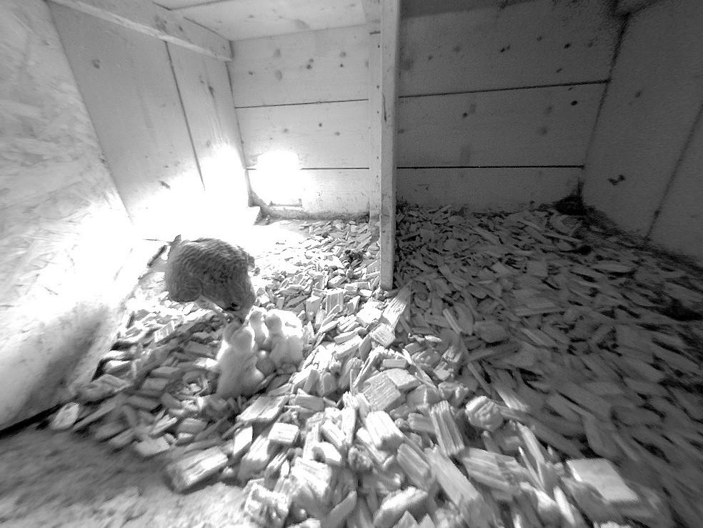 14.5.2021 Aus fünf von sechs Eiern sind bereits Jungfalken geschlüpft und diese werden bereits von der Mutter gefüttert.