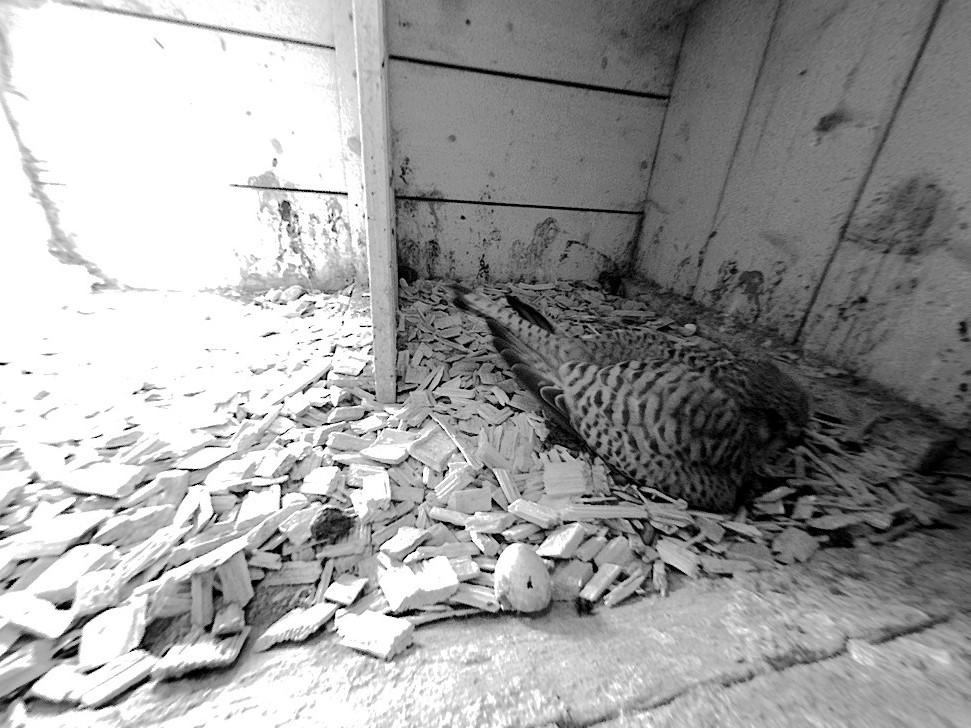 14.5.2021 Die offene Eierschale im Vordergrund weist auf ein erstes geschlüpftes Küken hin. Noch bebrütet das Turmfalken-Weibchen jedoch die anderen Eier, damit auch aus den restlichen Eiern kleine Turmfalken-Küken schlüpfen.