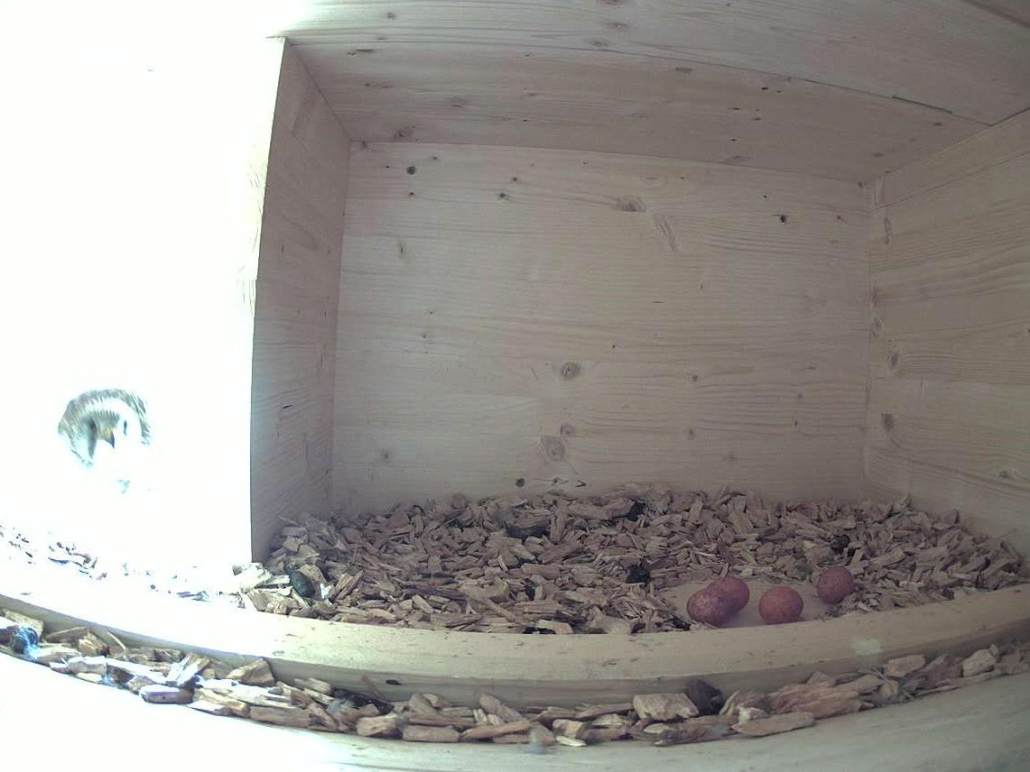 15.5.2021 Sechs Tage nach dem ersten Ei sind bereits 4 Eier im Gelege. Der Legeabstand zwischen den Eiern beträgt somit 2 Tage. Der Legeabstand deckt sich ebenfalls mit den Beschreibungen der Lehrbücher.