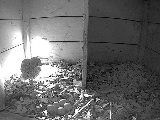 17.5.2021 Das Turmfalken-Gelege im südlichen Nistkasten der Steigmatt scheint mit fünf Eiern komplett zu sein.