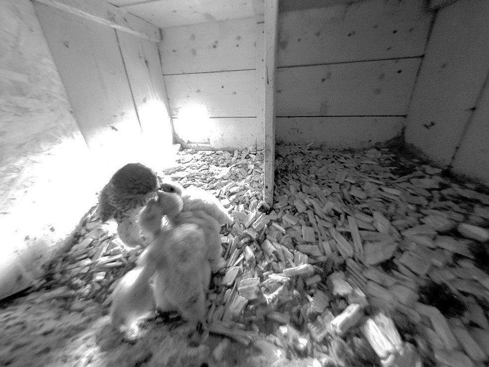 25.5.2021 Wie im nördlichen Nistkasten der Familie Baumgartner haben die Turmfalken des südlichen Nistkastens ebenfalls Einbussen erlitten. Von den ursprünglich 6 Eiern haben nur 3 Nestlinge das Rennen gemacht.