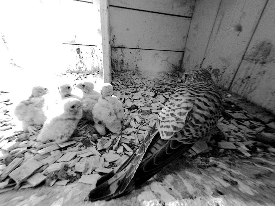 25.5.2021 … anscheinend haben nur 5 Nestlinge überlebt. Das nasskalte Wetter scheint den Turmfalken ebenfalls zugesetzt zu haben. Um alle 8 Nestlinge durchzubringen hätten wohl alle Bedingungen optimal zusammenpassen müssen.