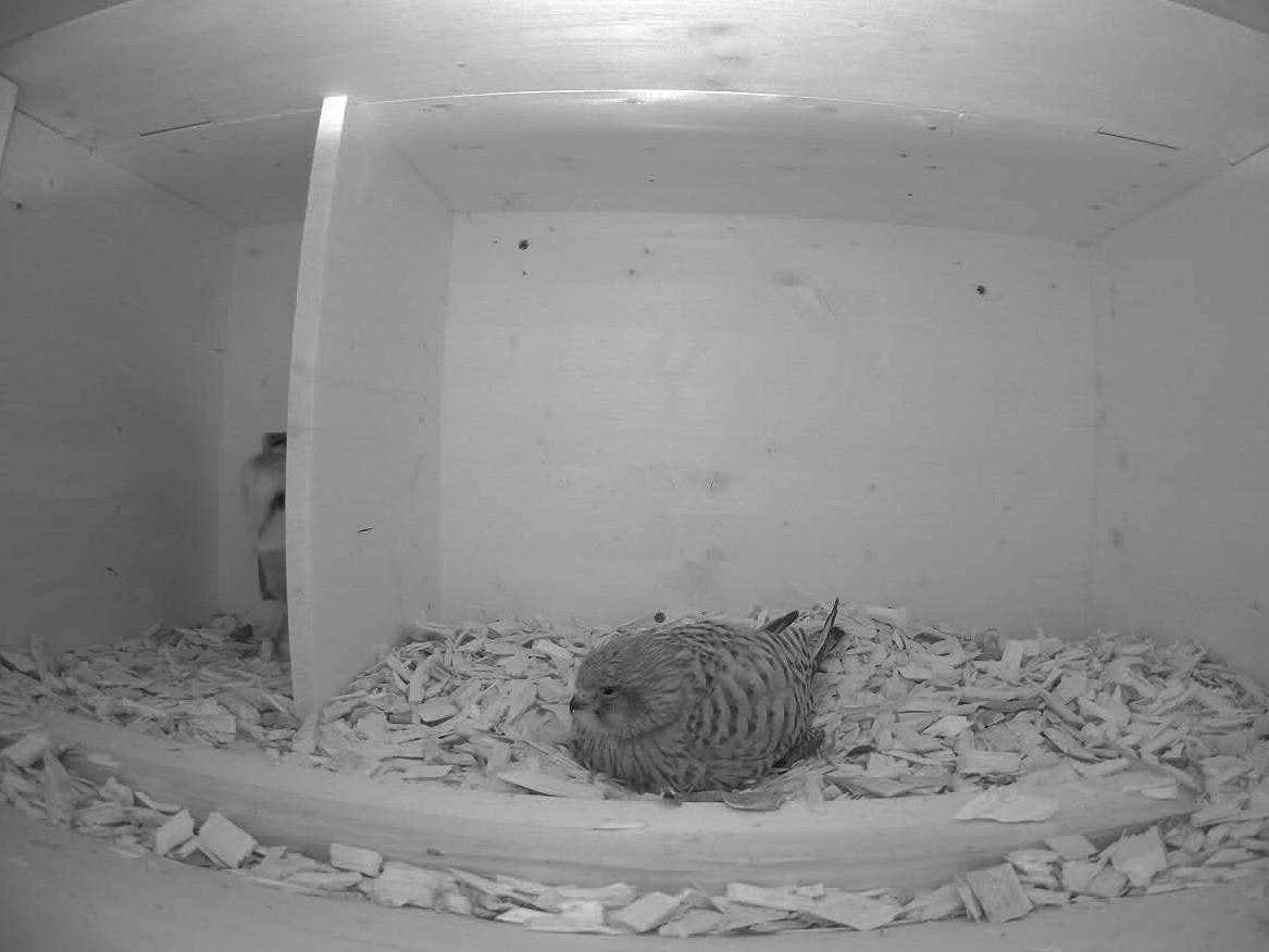 28.5.2021 Überraschung im Nistkasten in Marbach!! Inmitten der Nacht stattet eine Schleiereule dem brütenden Turmfalken-Weibchen einen Besuch ab. Als der Turmfalke die Schleiereule bemerkte, machte sich letztere gleich wieder aus dem Staub.