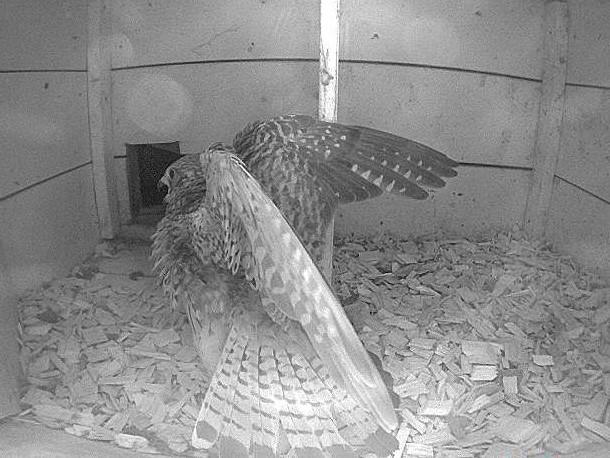 """2.6.2021 Irgendetwas scheint das Turmfalken-Weibchen aufgeschreckt zu haben. Das Weibchen blieb wenige Minuten in dieser """"Drohpose"""" stehen bevor sie sich wieder um ihr Gelege kümmerte."""