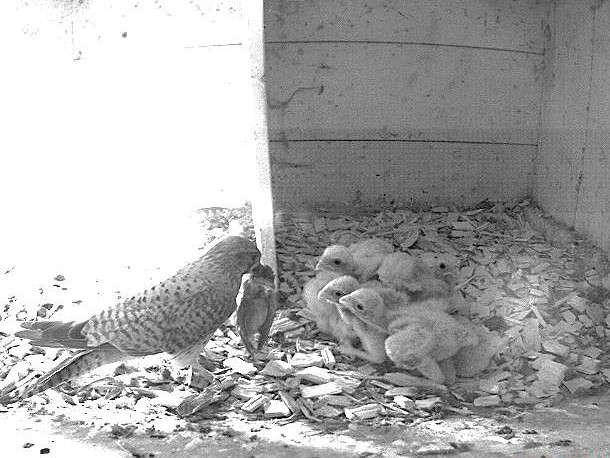 8.6.2021 Alle 6 Nestlinge sind geschlüpft und schon zu stattlichen kleinen Turmfalken herangewachsen. In der Brutzeit kann es vorkommen, dass die Altvögel auch mal ein unerfahrenes Jungtier von anderen Vogelarten erwischen. Im Gegensatz zu Baum- und Wanderfalke erbeutet der Turmfalke jedoch seine Beute im Normalfall nicht im Flug und seine Hauptnahrung besteht aus Mäusen.