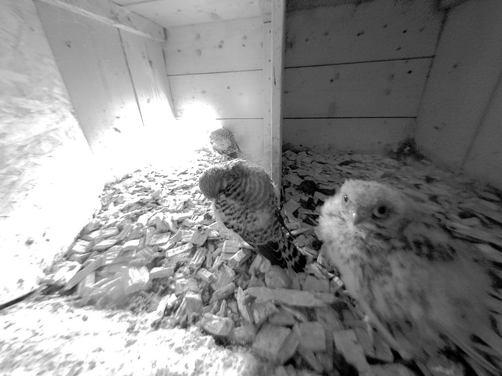 8.6.2021 Bei der Entwicklung resp. Ausbildung der Steuer- und Konturfedern kann es zwischen den einzelnen Nestlingen Unterschiede geben. Die früher geschlüpften Tiere können so in der Entwicklung den später geschlüpften um einiges voraus sein.
