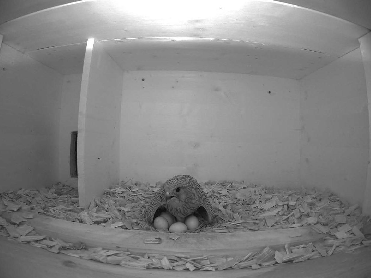 14.6.2021 Damit alle Eier des Geleges bebrütet werden können, muss sich das Turmfalken-Weibchen ganz schön breit machen.