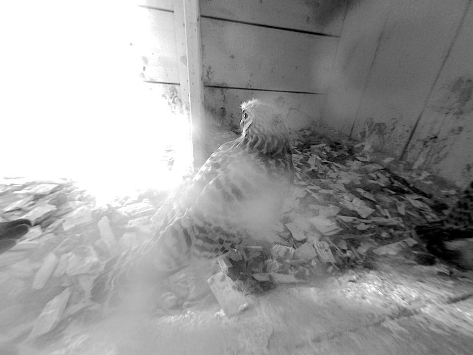 15.6.2021 Hier sind auf dem Kopf noch gut die letzten Dunenfedern zu erkennen. Diese werden bald ausfallen und die Nestlinge werden den Nistkasten in Kürze verlassen.