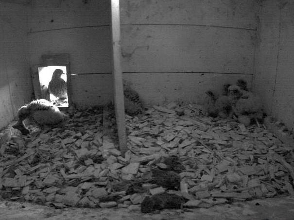 17.6.2021 Das Nahrungsangebot rund um den Tratthof in Diepoldsau scheint aktuell wirklich gut zu sein! Trotz sechs hungrigen Jungfalken häufen sich die Mäuse im Nistkasten.