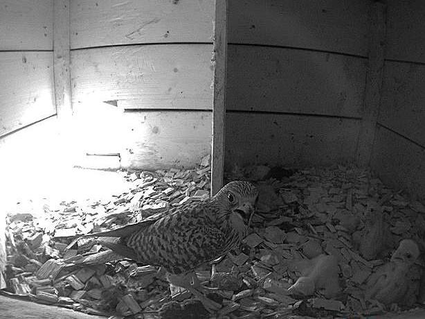 17.6.2021 Die Nestlinge sind nun etwas mehr als eine Woche alt und müssen ständig mit Nahrung versorgt werden. Das Weibchen war erfolgreich jagen und wird die Maus nun den Jungtieren verfüttern.