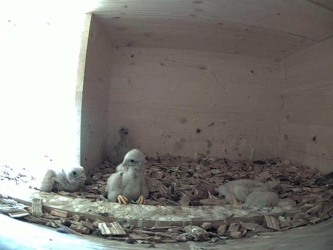 28.6.2021 Die Küken sind nun gute 10 Tage alt. Aus dem fünfer Gelege haben sich deren vier Jungtiere entwickelt. Ein Ei ist noch zu sehen und daraus wird nichts mehr werden.