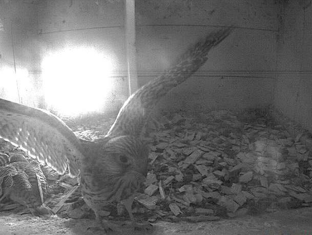 28.6.2021 Dieser Nestling zeigt uns schön, dass er nun wohl bereit ist für den ersten Ausflug. Kurz nach diesem Bild flogen alle sechs Nestlinge das erste Mal aus. Wieder eine erfolgreiche Brutsaison auf dem Tratthof!