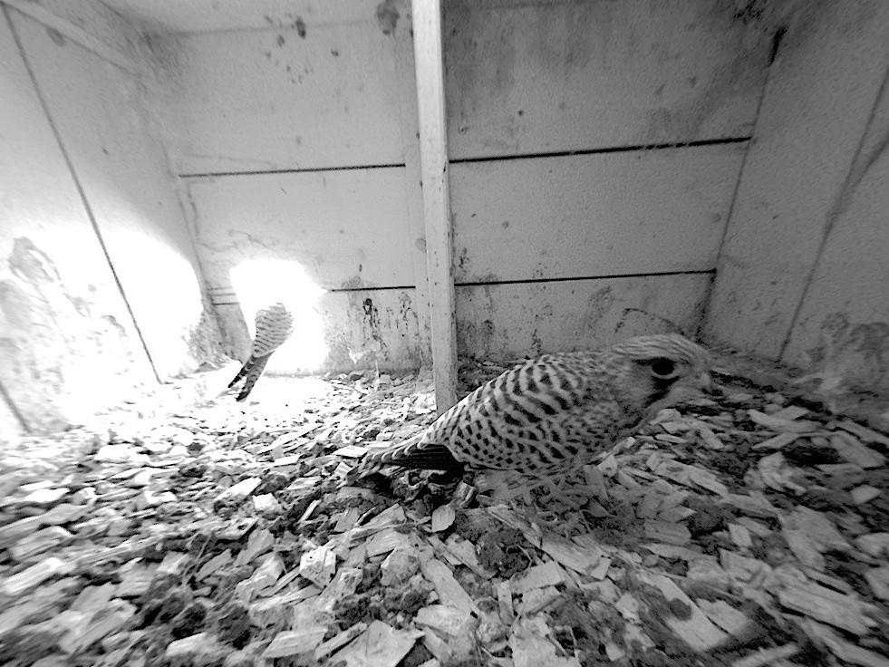 30.6.2021 In den ersten Wochen nach den Erstflügen kommt es immer wieder vor, dass die Nestlinge zurück in den Nistkasten kommen. Dass es sich um Nest-linge handelt erkennt man an den Ringen und dem noch frischen und nicht abgenutzten Federkleid.
