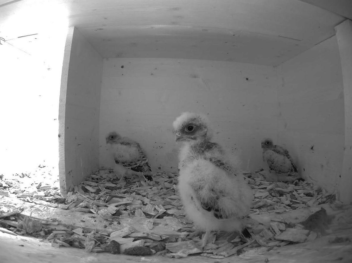 6.7.2021 Mit rund 3 Wochen werden bei den jungen Turmfalken die Dunenfedern nach und nach vom ersten Federkleid abgelöst. Das Gewicht der Altvögel ist erreicht und nun wird die Energie vor allem in das Federwachstum investiert.