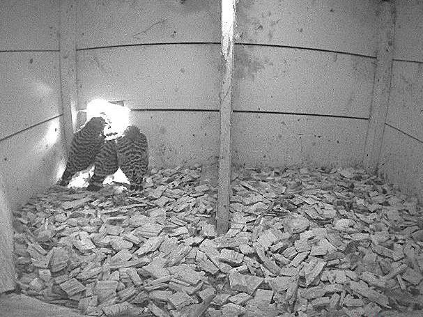 8.7.2021 Die Jungfalken sind nun knapp 30 Tage alt und somit in Kürze bereit das erste Mal auszufliegen. Sie scheinen es kaum erwarten zu können!