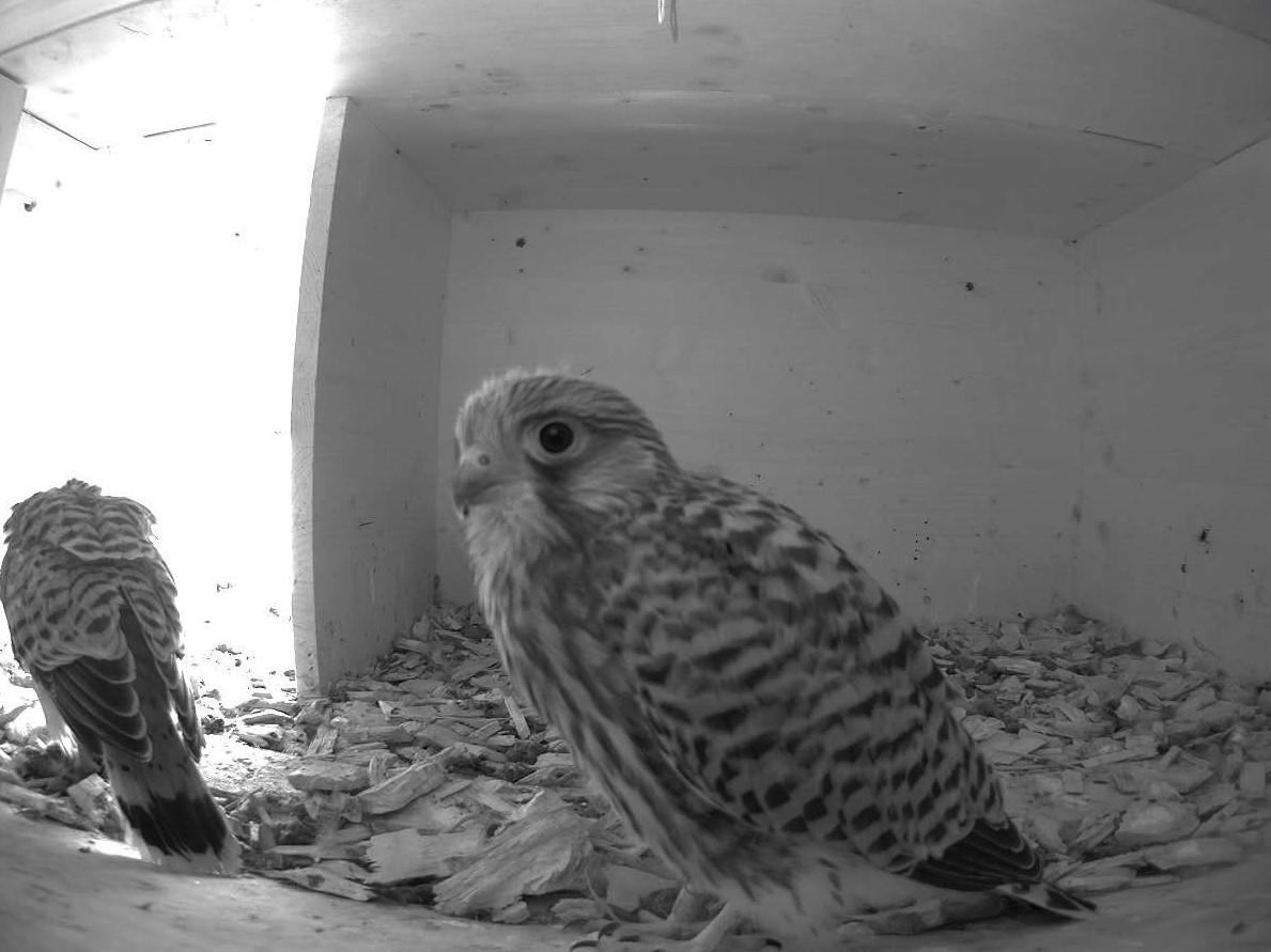 16.7.2021 Nun sind die Jungvögel fast nicht mehr von erwachsenen Weibchen zu unterscheiden und wohl nur noch wenige Tage im Nistkasten. Bei diesem Jungtier kann man gut den Ring am rechten Lauf erkennen, welcher ihnen vor gut einer Woche angebracht wurde.